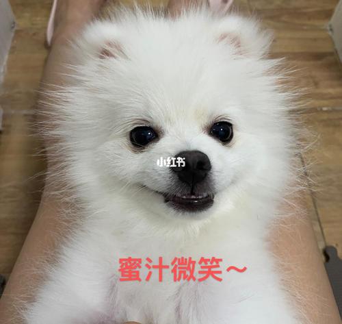 白色博美犬表情包