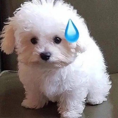 小白狗表情包