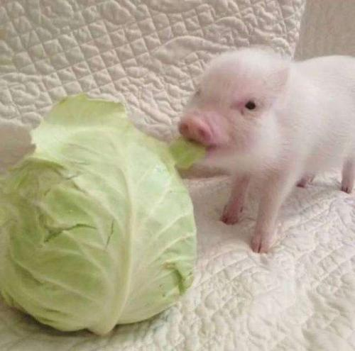 猪拱白菜表情包 幽默
